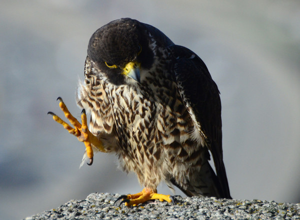 Foot Falcon –5/4/18