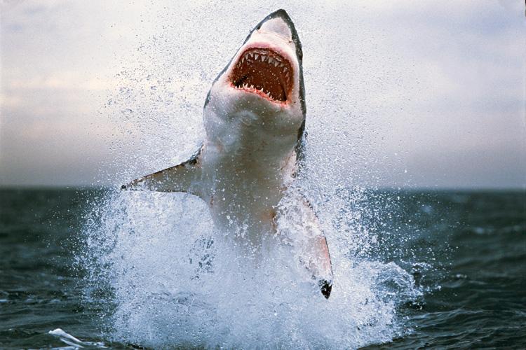 Shark Attack –11/4/18