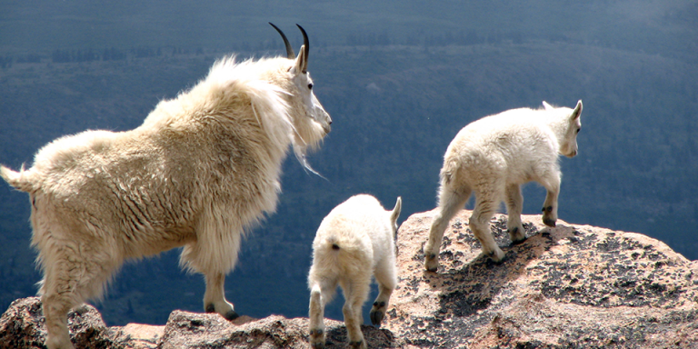 mountain-goat_ron-booth